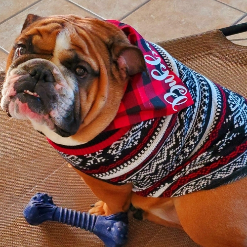 A Christopher & Banks Dog, wearing a Fair Isle Dog Sweater.